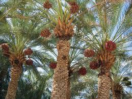 رتبه اول تولیدات باغی سیستان و بلوچستان به محصول خرما اختصاص دارد