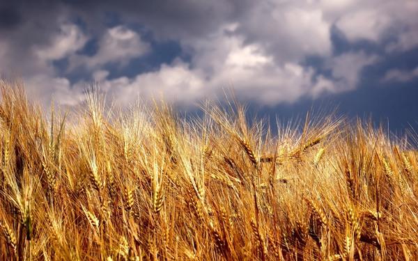 ضریب خوداتکایی گندم به 110درصد میرسد